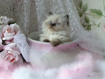 Persian kittens for sale in new bern nc