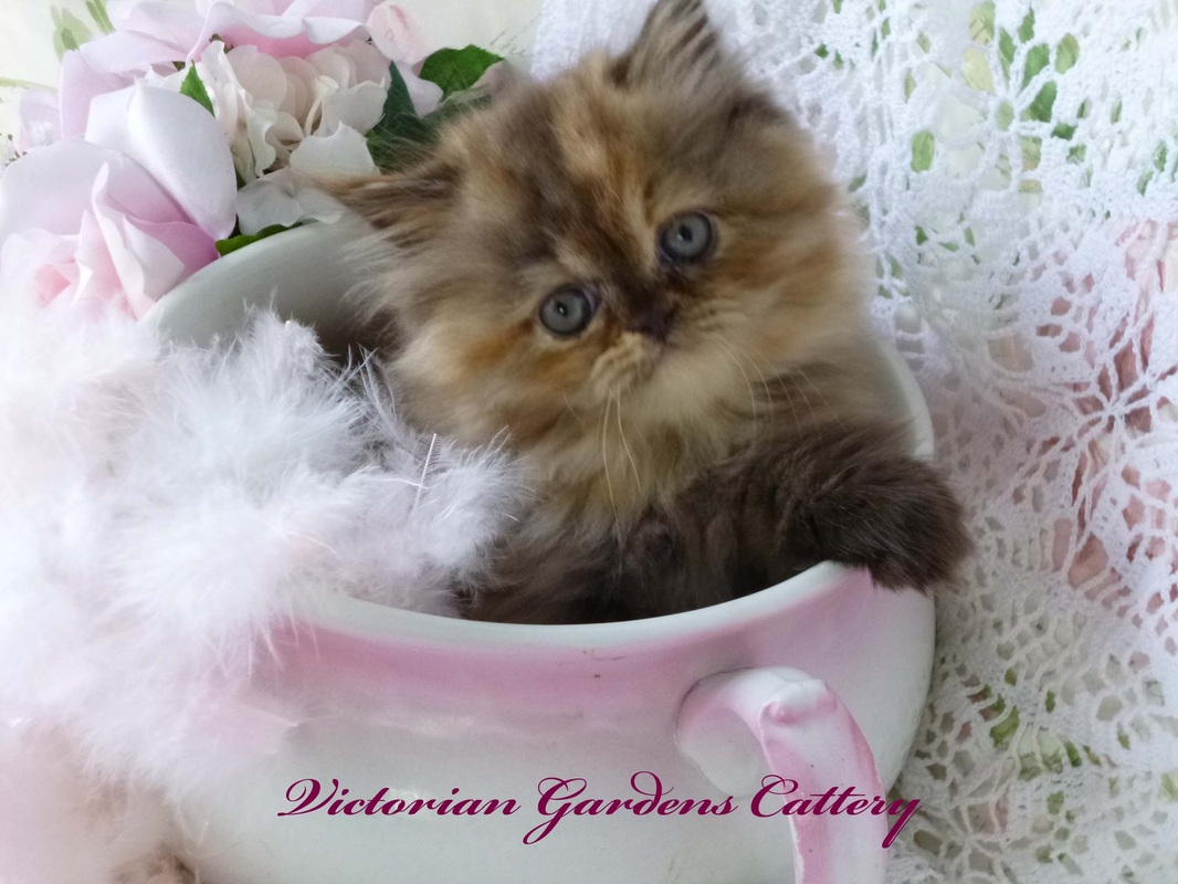 OUR CATTERY BLOG 2014 VICTORIAN GARDENS CATTERY CFA