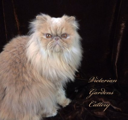 Victorian Gardens Cattery - Cream Persian