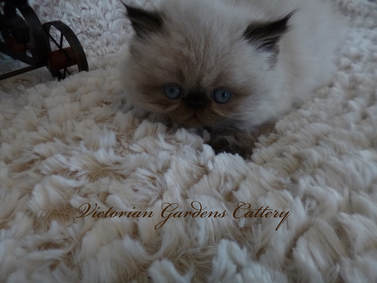 Victorian Gardens Cattery - Seal Point Himalayan Kitten
