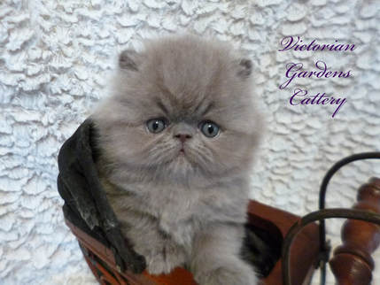 Victorian Gardens Cattery - Rare Lilac Persian