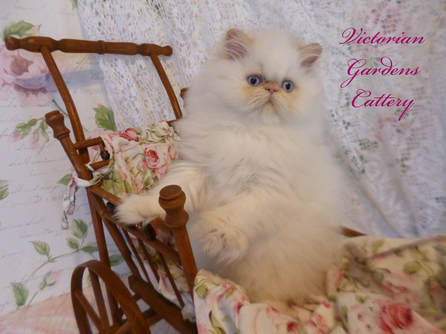 Victorian Gardens Cattery - Flame Point Himalayan Kitten