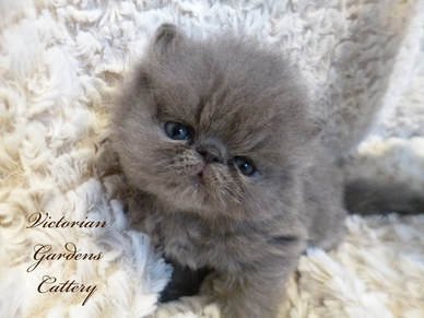 Victorian Gardens Cattery - Blue Persian