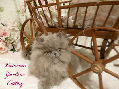 Victorian Gardens Cattery - Rare Lilac Persian Kitten