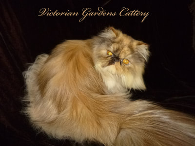 CH Victoriangdn's Hot Chocolate Iris - Chocolate Tortie Point Persian