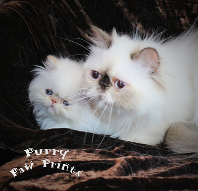 Victoriangdn's Chocolate Hollyhock, Chocolate Tortie Point Himalayan With Her Baby, Flame Point Himalayan Kitten