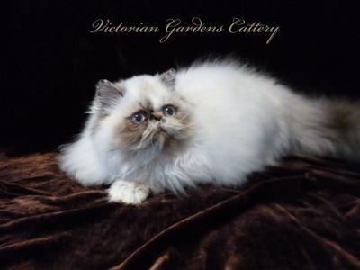 CH Victoriangdn's Periwinkle - Seal Tortie Point Himalayan