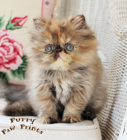 CH VICTORIANGDN'S Hot Chocolate Iris, a rare Extreme Face Chocolate Tortoiseshell Persian