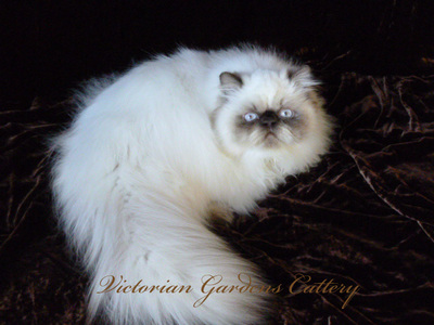 CH Victoriangdn's Little MIracle - Chocolate Point Himalayan