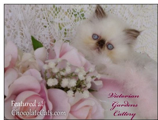 VICTORIANGDN'S Chocolate Hollyhock, A Rare Extreme Face Chocolate Tortie Point Himalayan