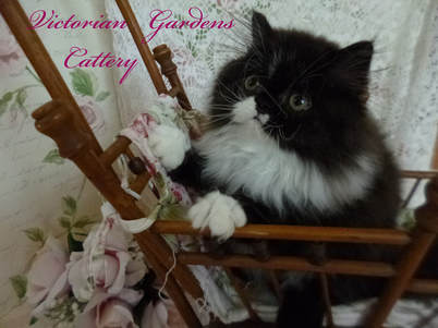 Victorian Gardens Cattery - Black and White Bicolor Persian Kitten