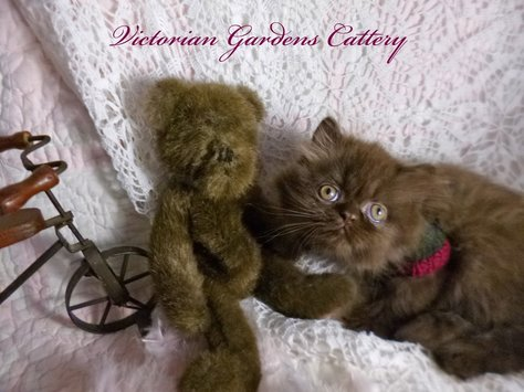 Victorian Gardens Cattery - Rare Chocolate Persian