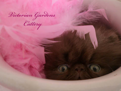 Victoriangdn's Chocolate Cosmos - 5 Week Old Chocolate Persian