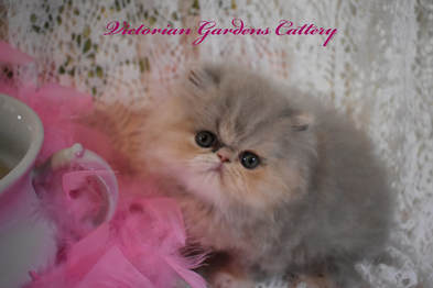 A 4 Week Old Lilac Cream Persian