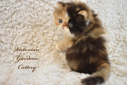 Victoriangdn's California Poppy, our first Calico at 5 Weeks Old.