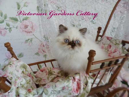 Victorian Gardens Cattery - Rare Chocolate Tortie Point Himalayan