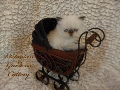 Victorian Gardens Cattery - Chocolate Point Himalayan Kitten