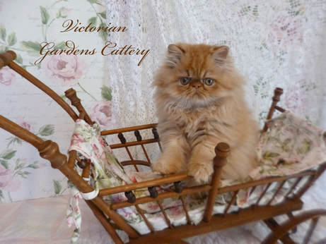 Victorian Gardens Cattery - Rare Red Chocolate Persian