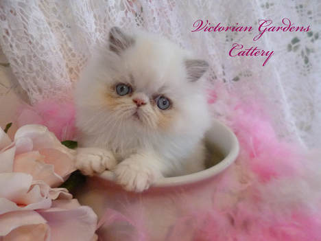 Victorian Gardens Cattery - Rare Lilac Point Himalayan