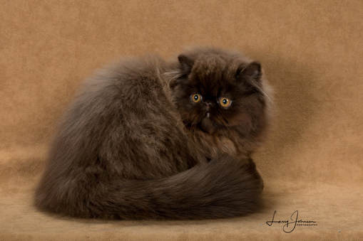 Victoriangdn's Chocolate Cosmos Extreme Face Female Chocolate Persian