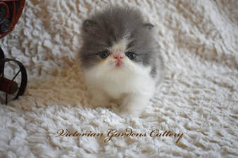 Blue and White Bi-Color Persian