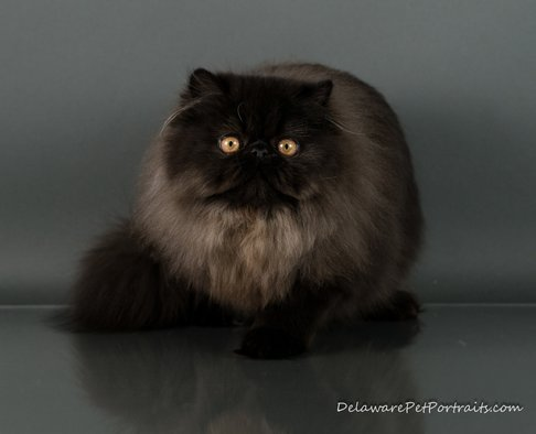 Victoriangdn's Black Delight Viola Extreme Face Female Black Persian