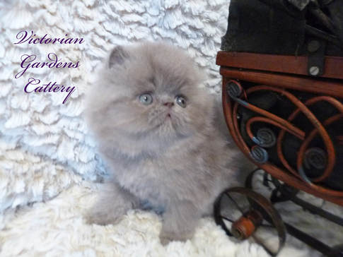 5 Week Old Solid Lilac Persian Kitten