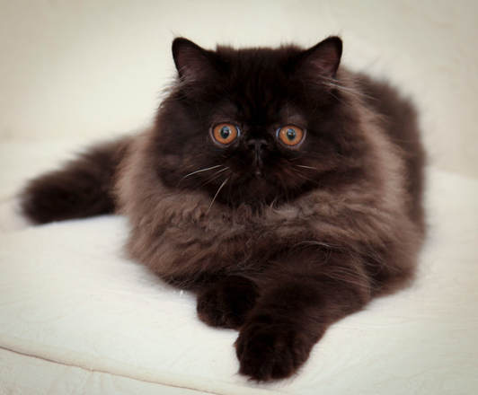 VICTORIANGDN The Perfect Rose, 3 1/2 month old Black CPC Persian. Courtesy of D. Russo Photography.